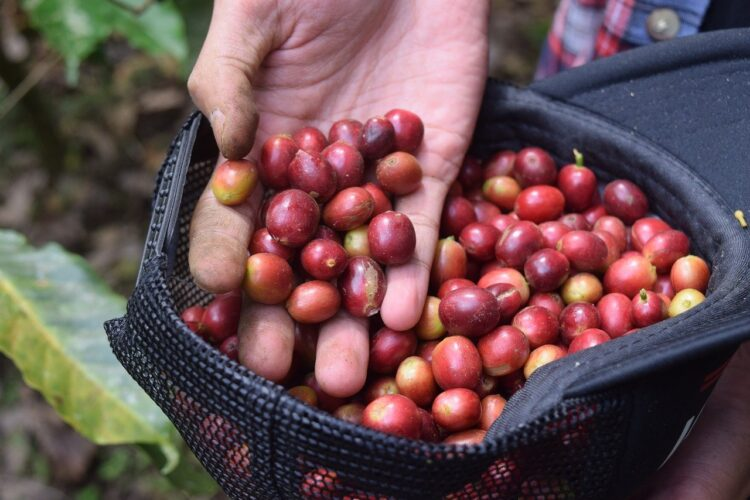 organic coffee berries grown in Indonesia