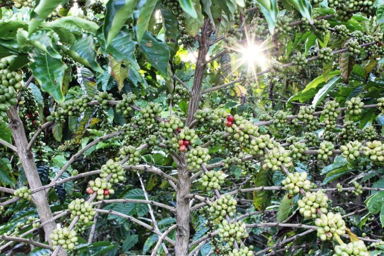 green coffee beans growing on a tree in a plantation