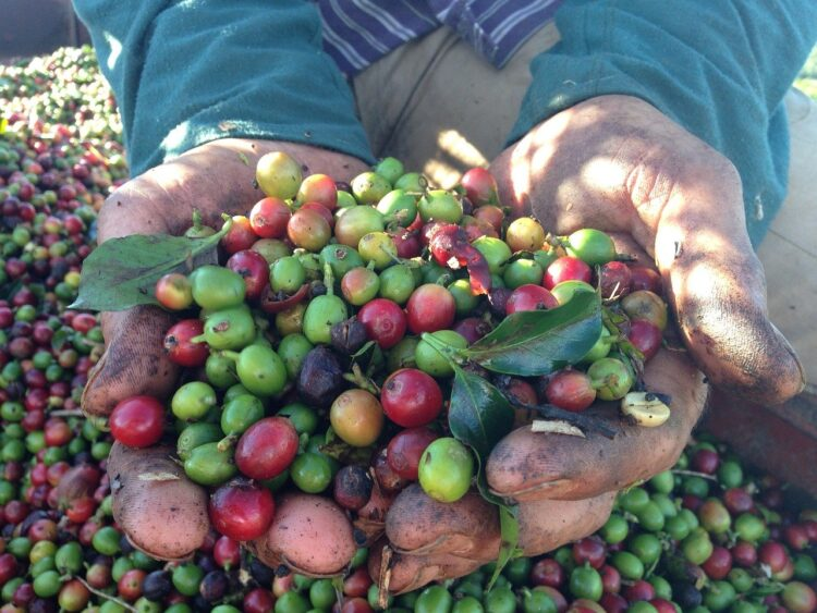 freshly harvested brazilian coffee