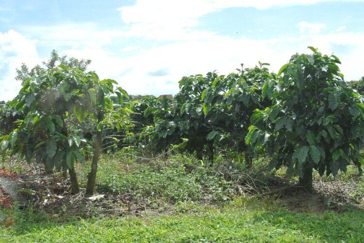 coffee trees growing in costa rica