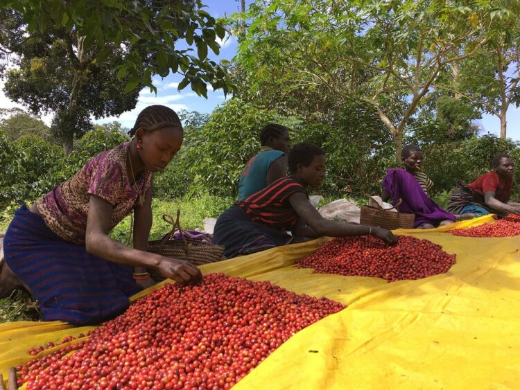 sorting coffee beans in Ethiopia