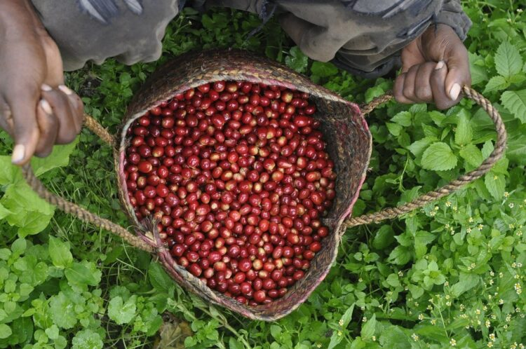 freshly picked red coffee beans in Ethiopia